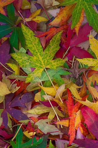 Candy Leaves von Norm Stelfox