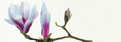 Magnolia solitaire von Stephanie Andrew