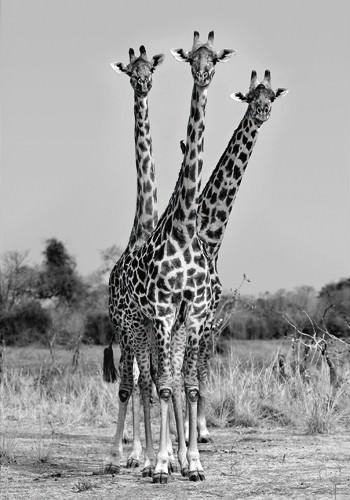Giraffes Three von Xavier Ortega