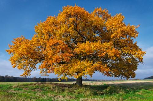 Golden Oak von Hans Strand