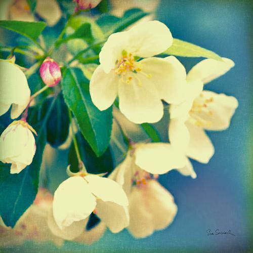Natures Apple Blossom von Sue Schlabach