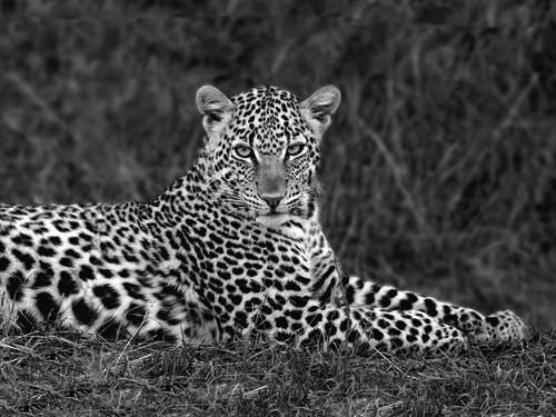 Leopard Portrait von Xavier Ortega