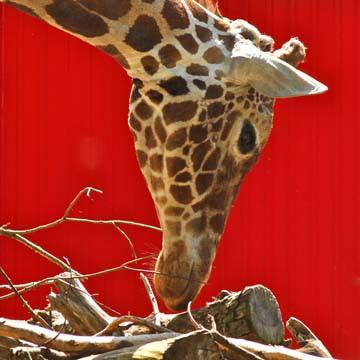 Giraffe von Bernhard Böser