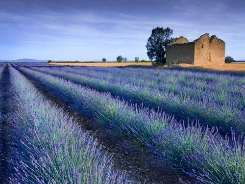 Stone Barn in Lavender Field von Simon Kayne