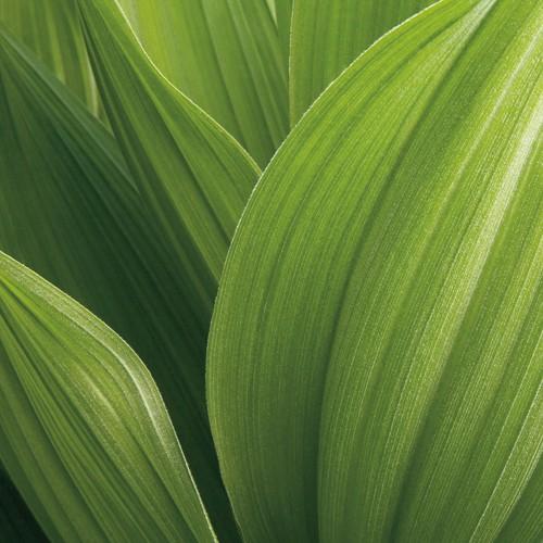Corn Lily von Jan Bell