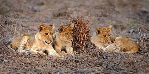 Lions Cub von Xavier Ortega