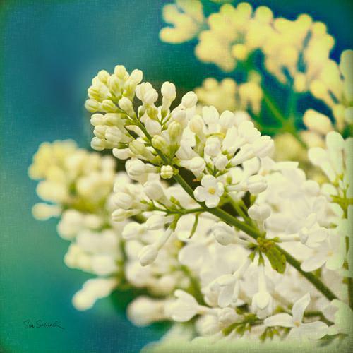 Natures Lilac Blossom von Sue Schlabach