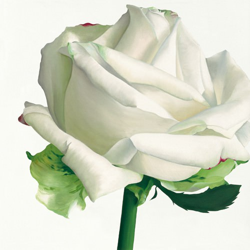White Rose I von Stephanie Andrew