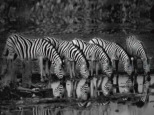 Zebras Reflection von Xavier Ortega