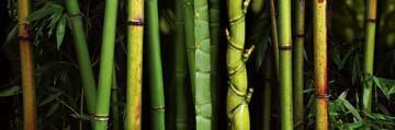 Bamboo von Roberto Scaroni