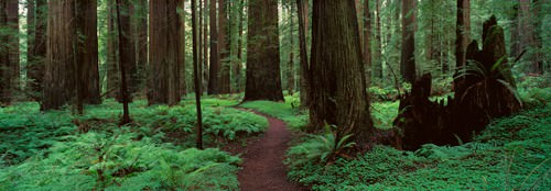 Redwoods Path von Alain Thomas