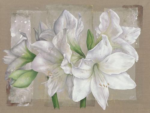 Amaryllis Blanc von Virginie Cadoret