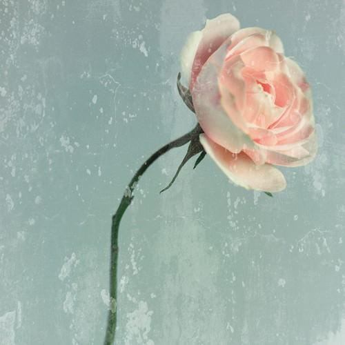 Romantic Pink Rose von Tom Lambert