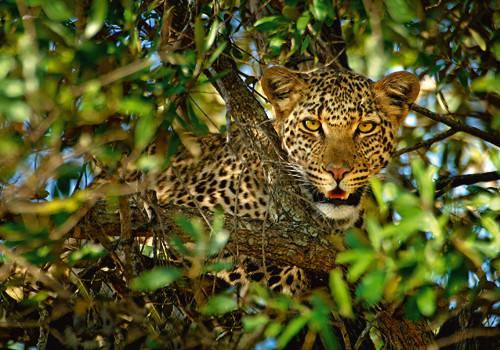 Leopard Camouflage von Xavier Ortega